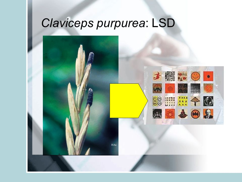 Claviceps purpurea: LSD