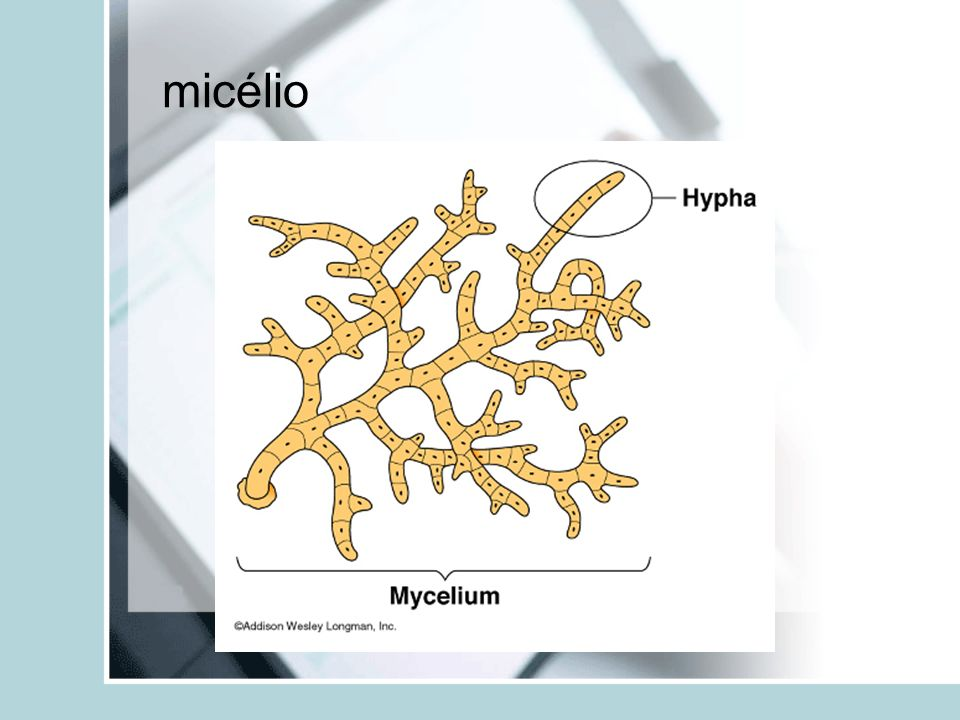 micélio