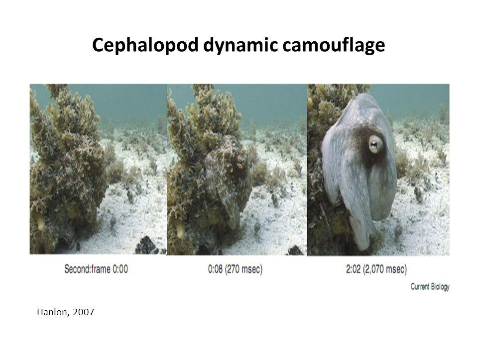 Cephalopod dynamic camouflage