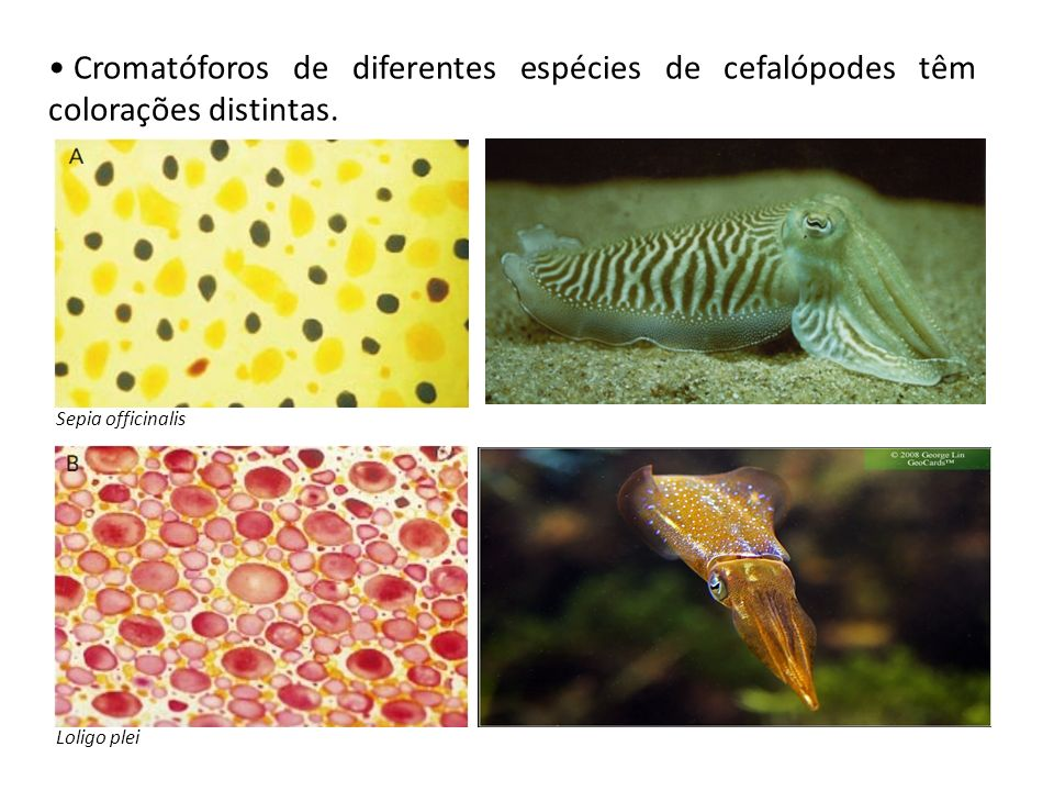 Cromatóforos de diferentes espécies de cefalópodes têm colorações distintas.