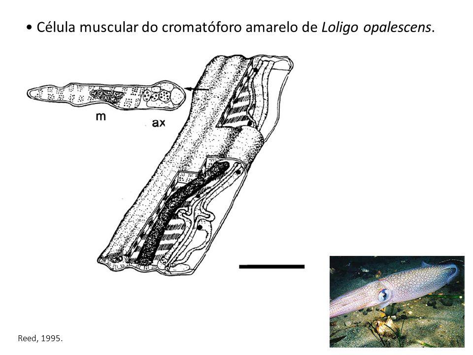 Célula muscular do cromatóforo amarelo de Loligo opalescens.