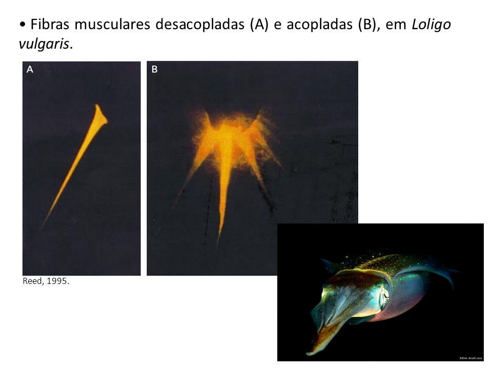 Fibras musculares desacopladas (A) e acopladas (B), em Loligo vulgaris.