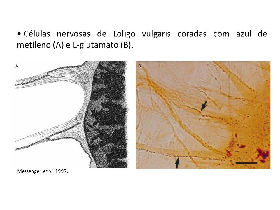 Células nervosas de Loligo vulgaris coradas com azul de metileno (A) e L-glutamato (B).