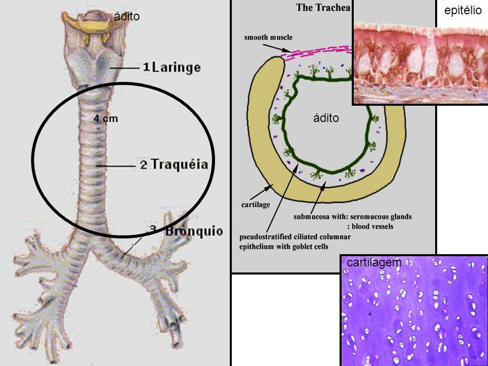 epitélio ádito 4 cm ádito cartilagem