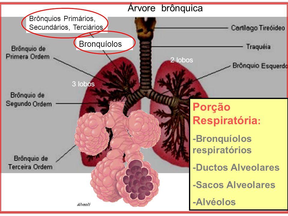 Porção Respiratória: Árvore brônquica -Bronquíolos respiratórios
