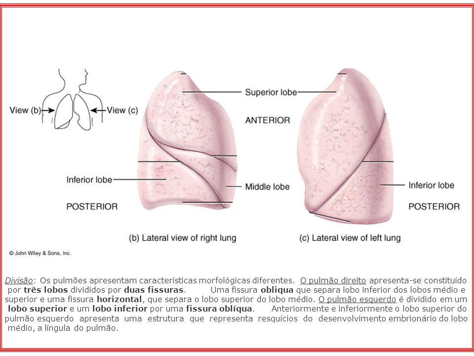 Divisão: Os pulmões apresentam características morfológicas diferentes
