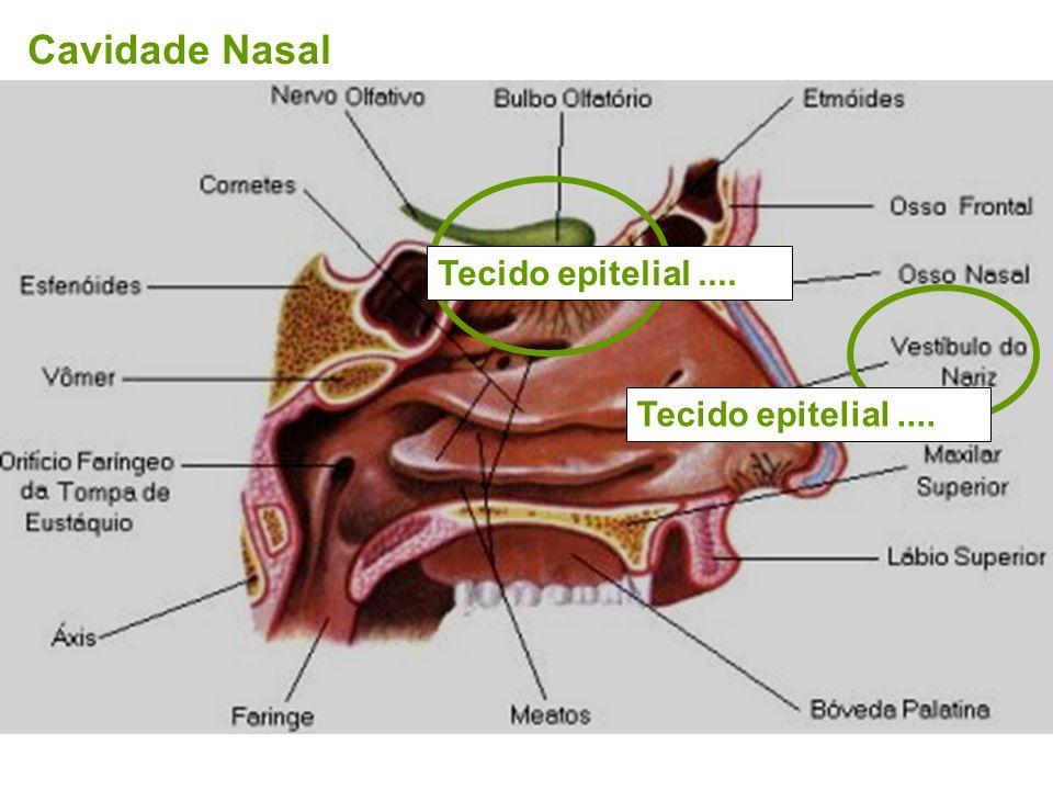Cavidade Nasal Tecido epitelial .... Tecido epitelial ....