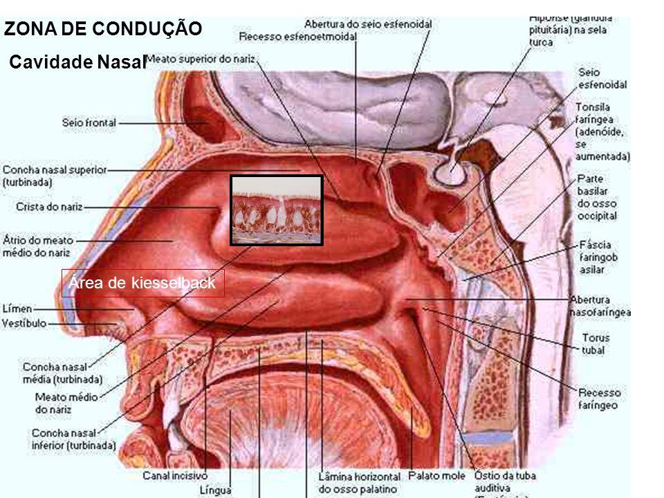 ZONA DE CONDUÇÃO Cavidade Nasal Área de kiesselback