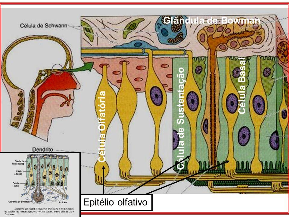 Glândula de Bowman Célula Basal Célula de Sustentação Célula Olfatória Epitélio olfativo