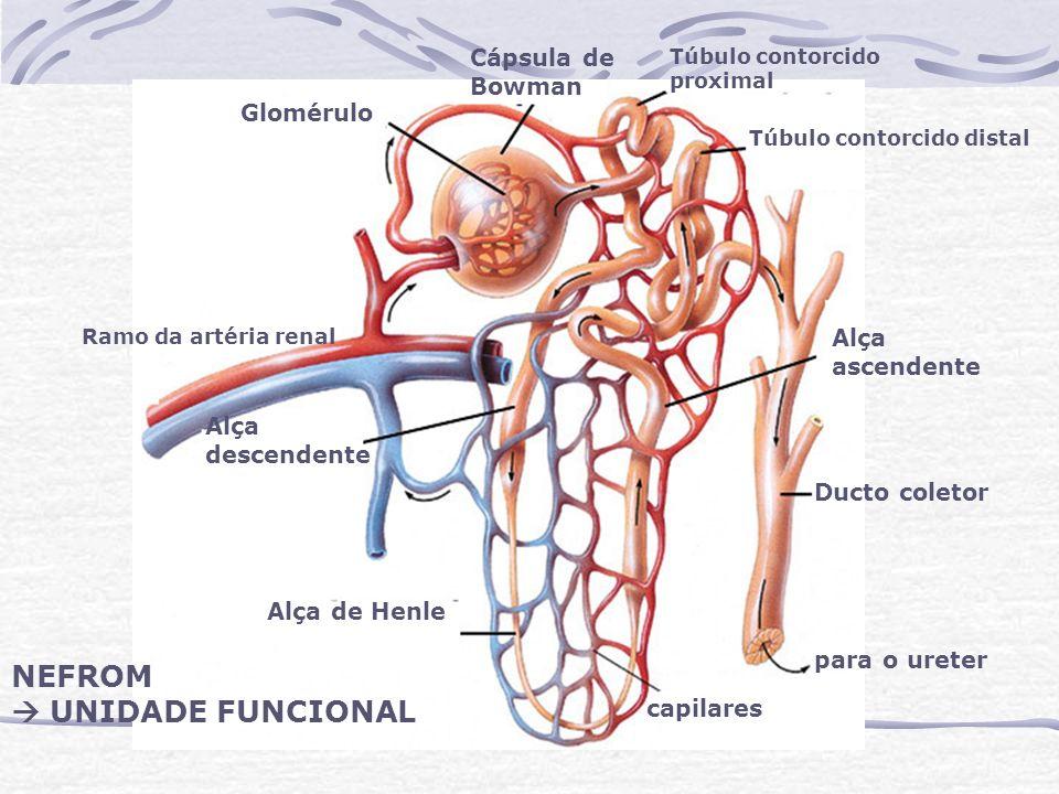 NEFROM  UNIDADE FUNCIONAL Cápsula de Bowman Glomérulo Alça ascendente