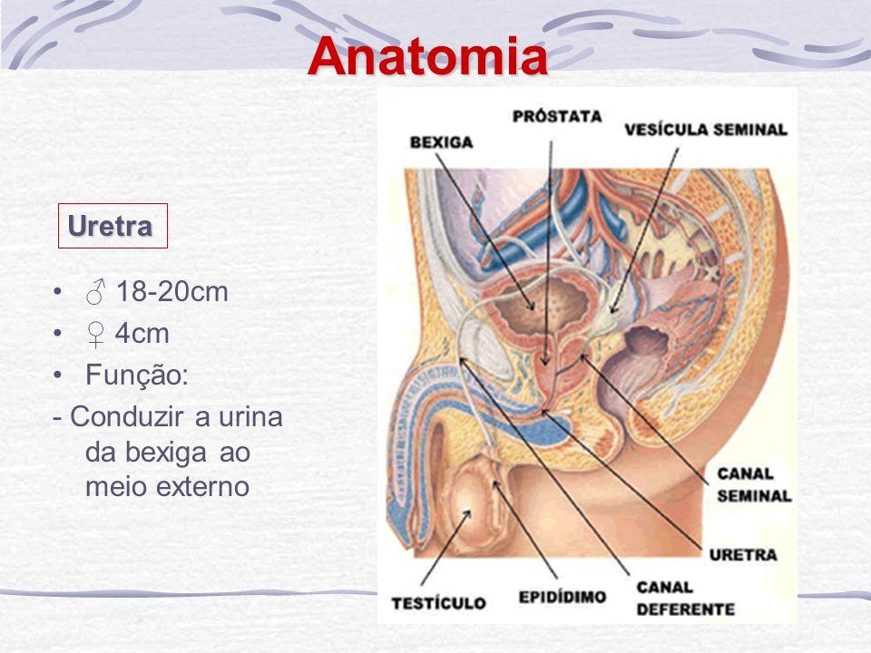 Anatomia Uretra ♂ 18-20cm ♀ 4cm Função: