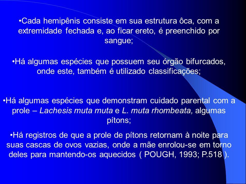 Cada hemipênis consiste em sua estrutura ôca, com a extremidade fechada e, ao ficar ereto, é preenchido por sangue;