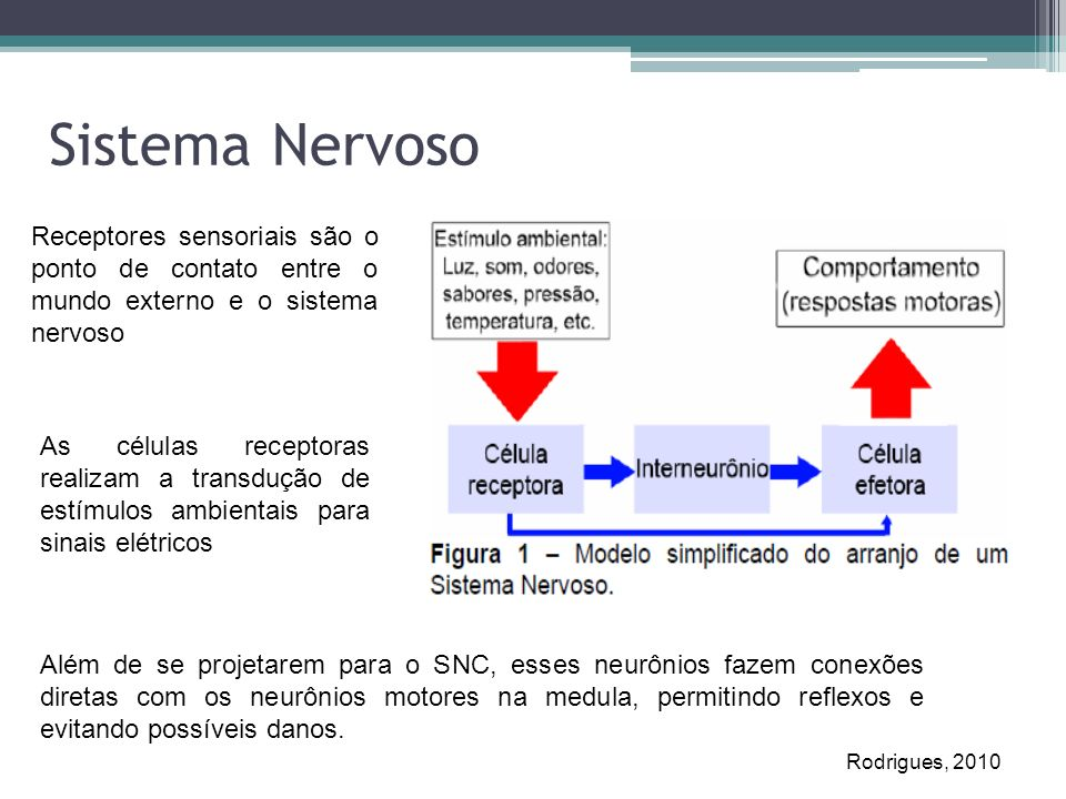 Sistema Nervoso Receptores sensoriais são o ponto de contato entre o mundo externo e o sistema nervoso.