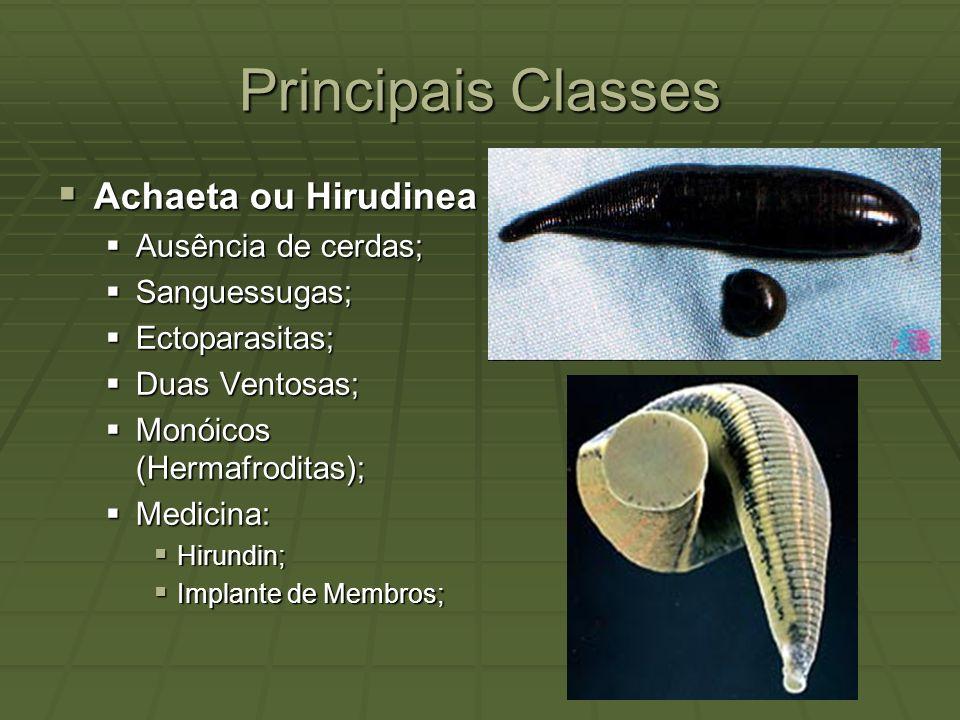 Principais Classes Achaeta ou Hirudinea Ausência de cerdas;