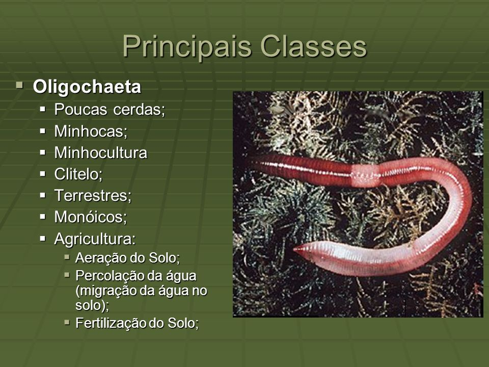 Principais Classes Oligochaeta Poucas cerdas; Minhocas; Minhocultura