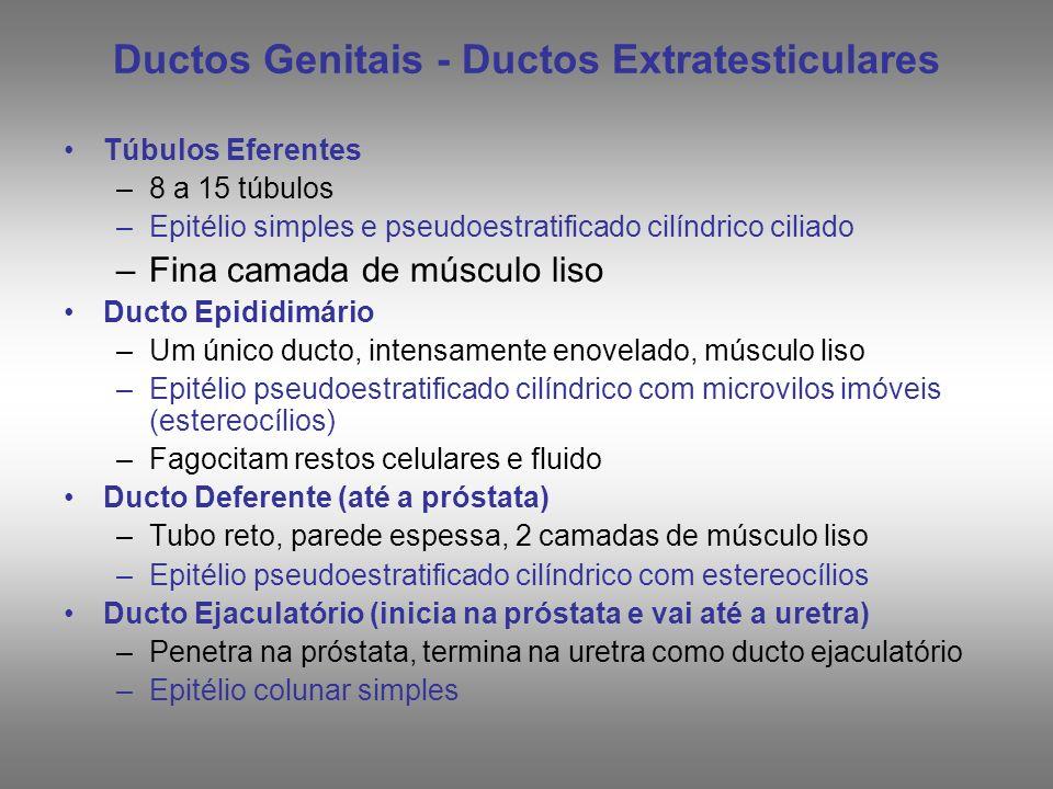 Ductos Genitais - Ductos Extratesticulares