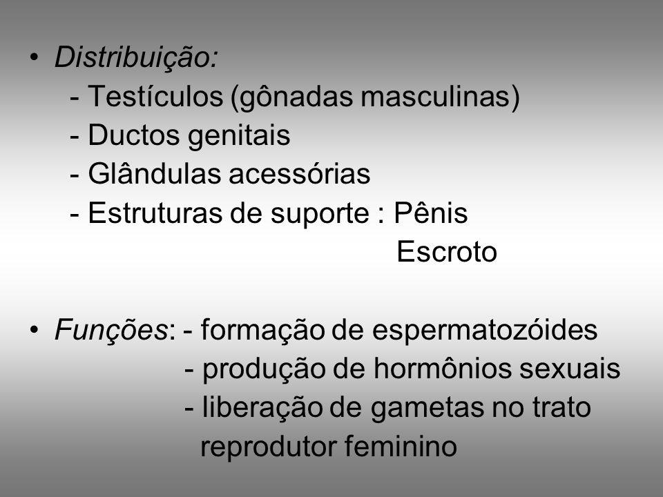 Distribuição:- Testículos (gônadas masculinas) - Ductos genitais. - Glândulas acessórias. - Estruturas de suporte : Pênis.
