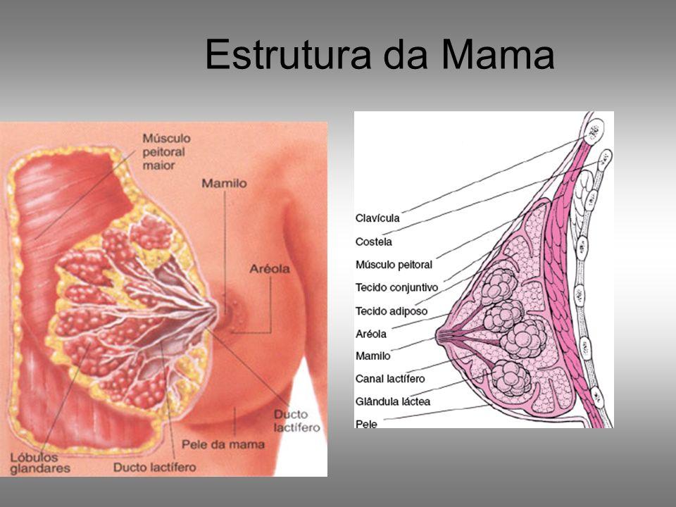 Estrutura da Mama