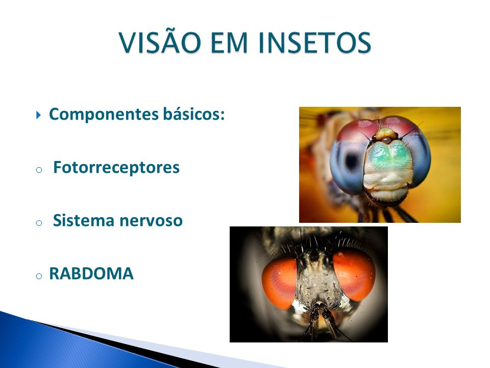 VISÃO EM INSETOS Componentes básicos: Fotorreceptores Sistema nervoso