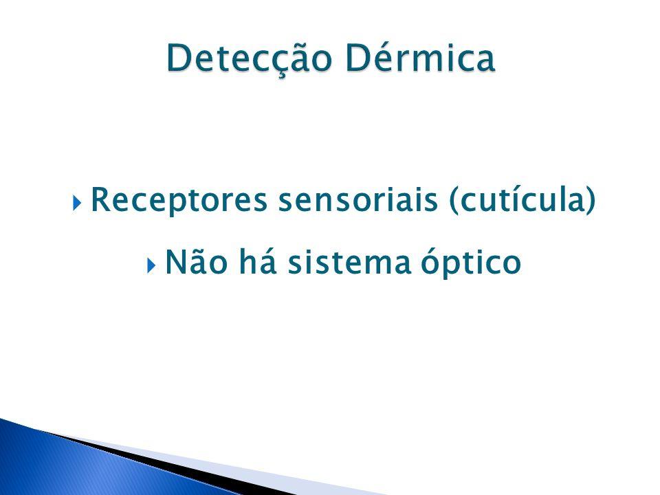 Receptores sensoriais (cutícula)