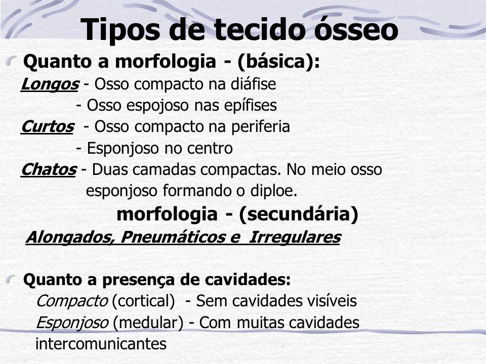 Tipos de tecido ósseo Quanto a morfologia - (básica):