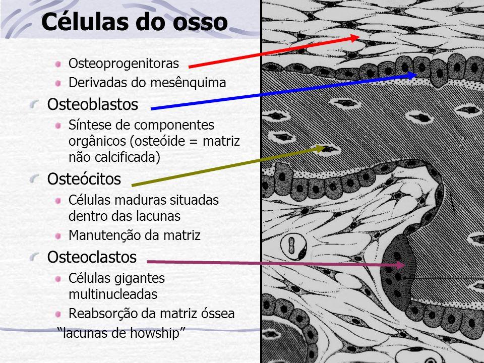 Células do osso Osteoblastos Osteócitos Osteoclastos Osteoprogenitoras