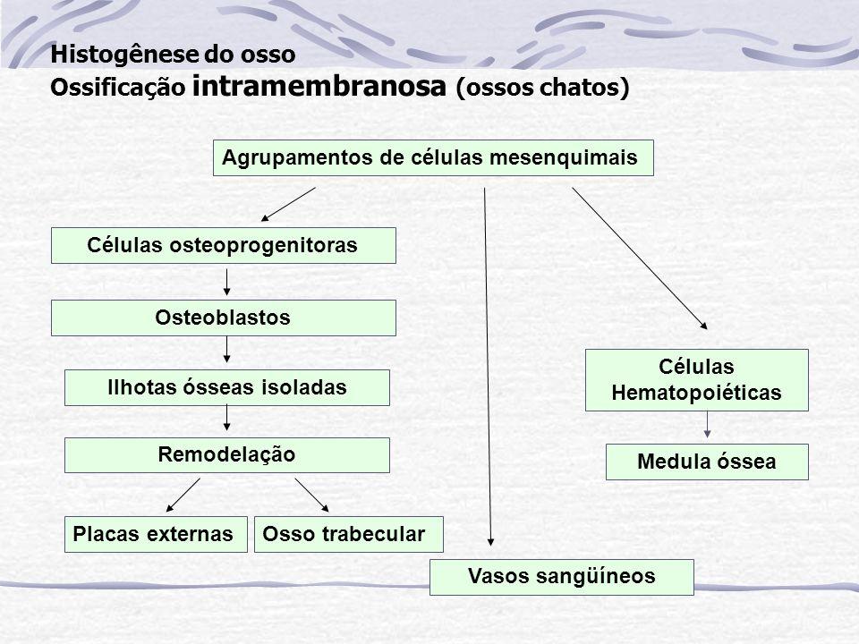 Histogênese do osso Ossificação intramembranosa (ossos chatos)
