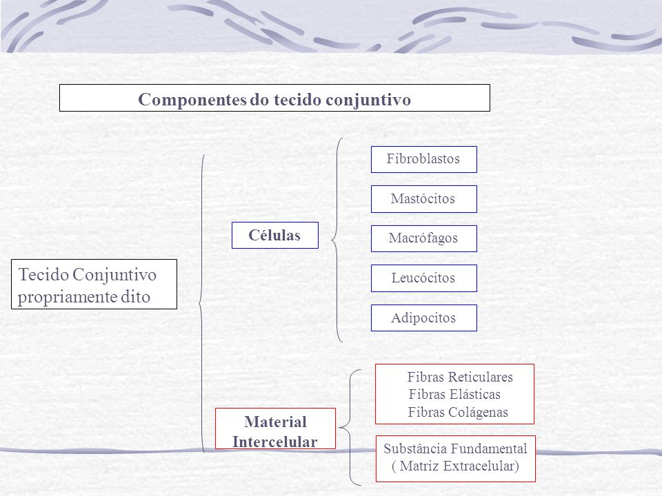 Componentes do tecido conjuntivo Material Intercelular