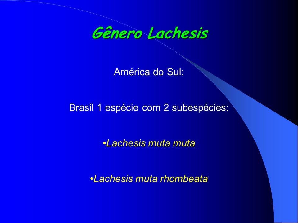 Gênero Lachesis América do Sul: Brasil 1 espécie com 2 subespécies:
