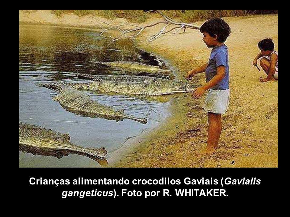 Crianças alimentando crocodilos Gaviais (Gavialis gangeticus)