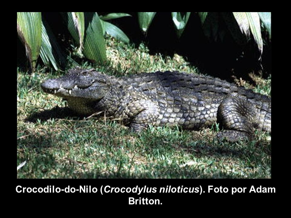 Crocodilo-do-Nilo (Crocodylus niloticus). Foto por Adam Britton.