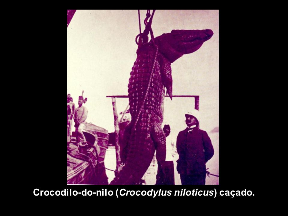 Crocodilo-do-nilo (Crocodylus niloticus) caçado.