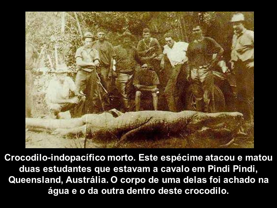 Crocodilo-indopacífico morto