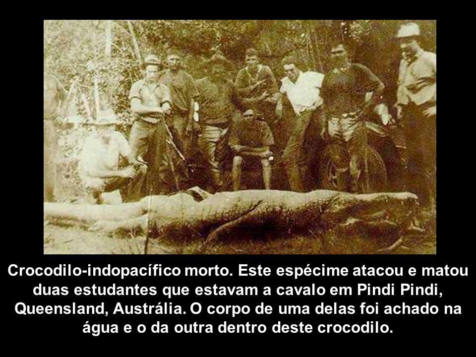 Crocodilo-indopacífico morto