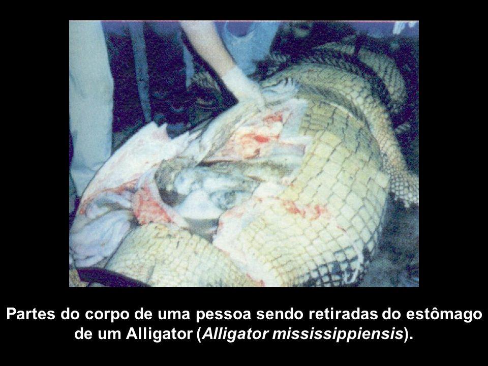 Partes do corpo de uma pessoa sendo retiradas do estômago de um Alligator (Alligator mississippiensis).