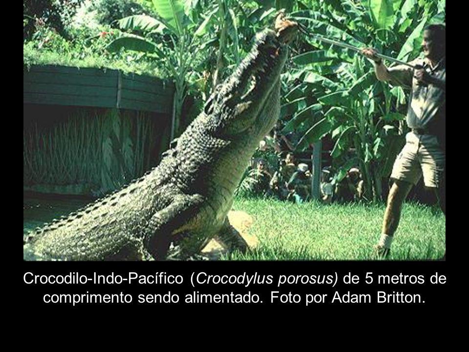 Crocodilo-Indo-Pacífico (Crocodylus porosus) de 5 metros de comprimento sendo alimentado.