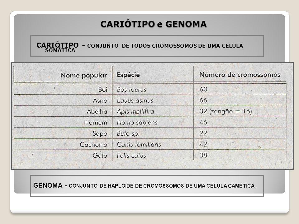 CARIÓTIPO e GENOMA CARIÓTIPO - CONJUNTO DE TODOS CROMOSSOMOS DE UMA CÉLULA SOMÁTICA.
