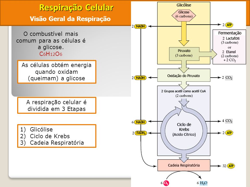 Respiração Celular Visão Geral da Respiração
