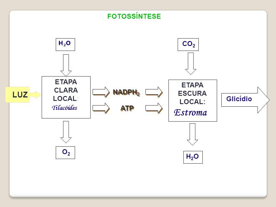 Estroma LUZ FOTOSSÍNTESE CO2 ETAPA CLARA LOCAL: ETAPA ESCURA LOCAL: