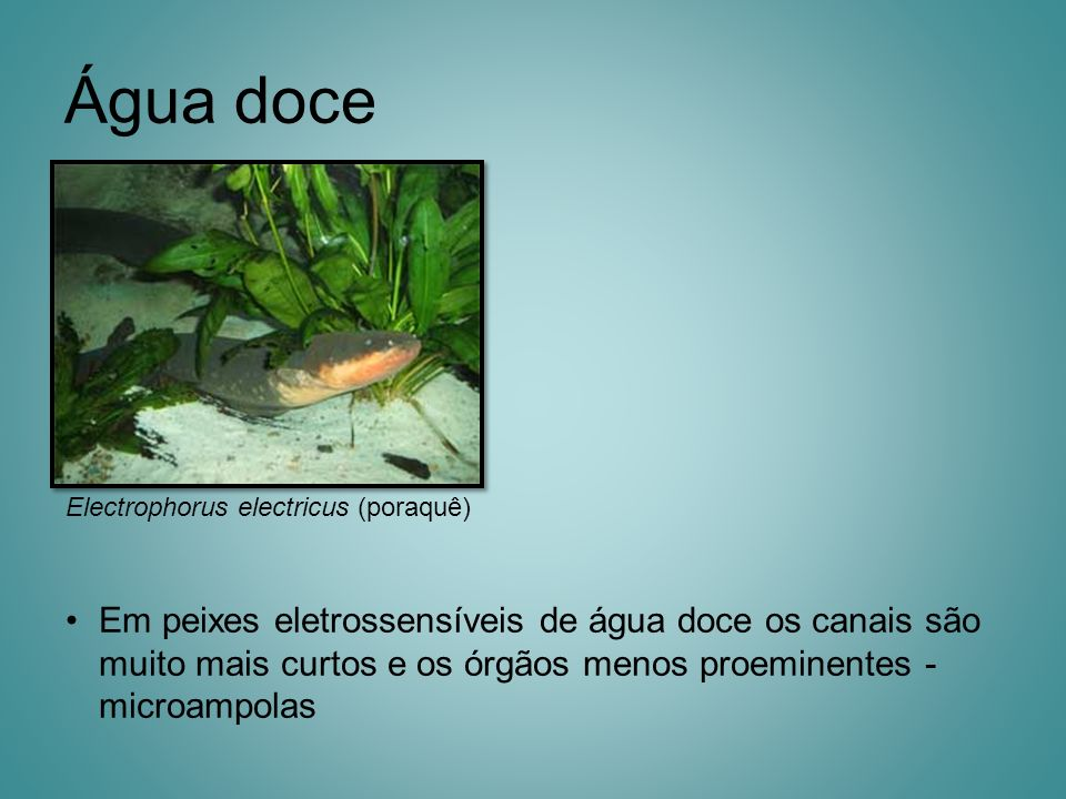 Água doce Electrophorus electricus (poraquê)