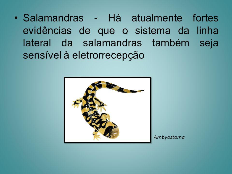 Salamandras - Há atualmente fortes evidências de que o sistema da linha lateral da salamandras também seja sensível à eletrorrecepção