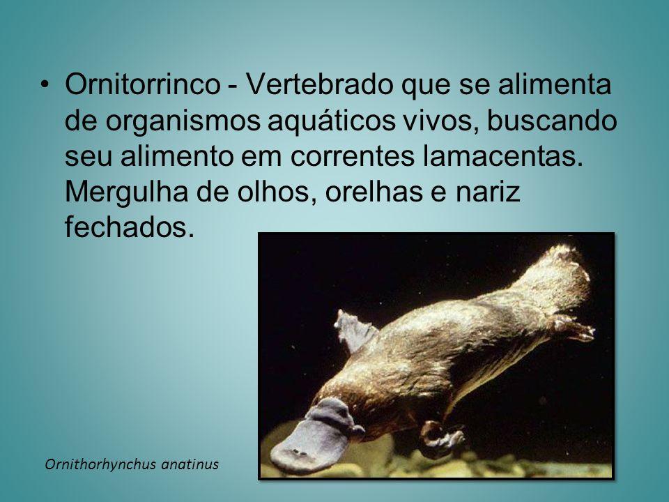 Ornitorrinco - Vertebrado que se alimenta de organismos aquáticos vivos, buscando seu alimento em correntes lamacentas. Mergulha de olhos, orelhas e nariz fechados.