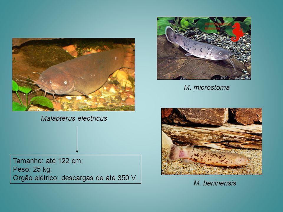 M. microstoma Malapterus electricus. Tamanho: até 122 cm; Peso: 25 kg; Orgão elétrico: descargas de até 350 V.