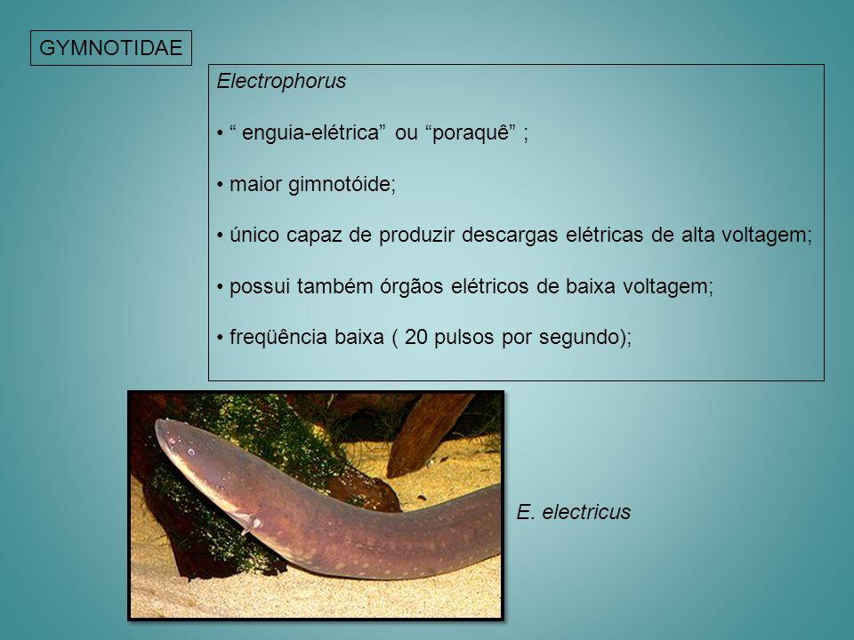 GYMNOTIDAE Electrophorus. enguia-elétrica ou poraquê ; maior gimnotóide; único capaz de produzir descargas elétricas de alta voltagem;