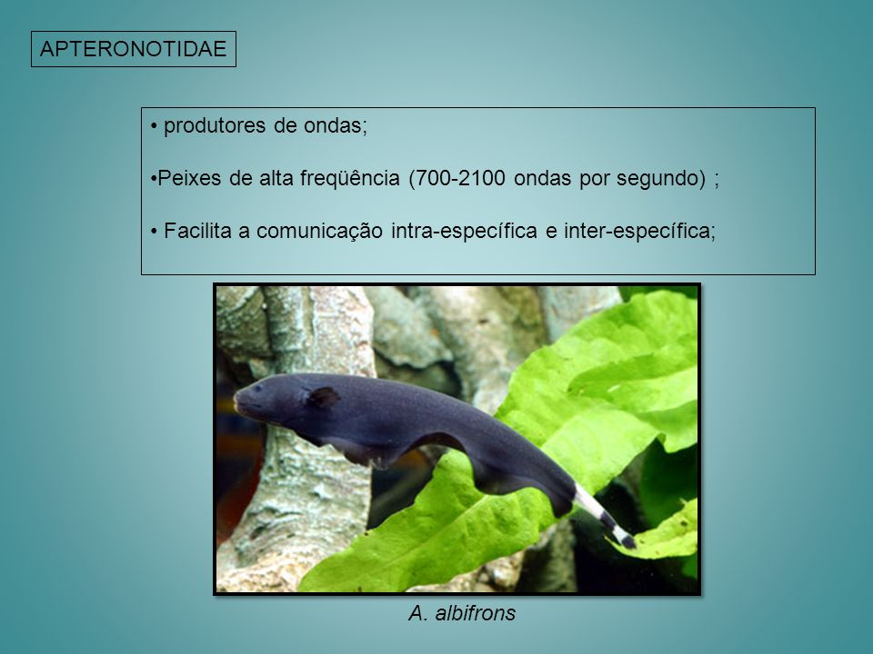 APTERONOTIDAE produtores de ondas; Peixes de alta freqüência (700-2100 ondas por segundo) ;