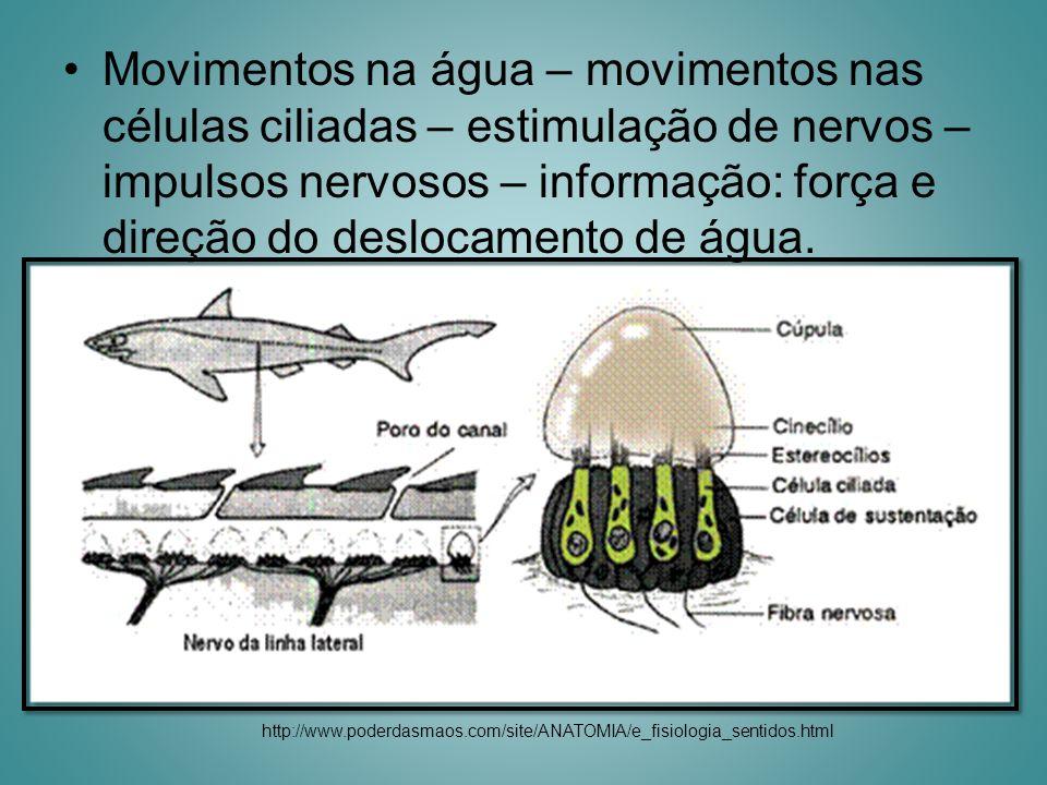 Movimentos na água – movimentos nas células ciliadas – estimulação de nervos – impulsos nervosos – informação: força e direção do deslocamento de água.