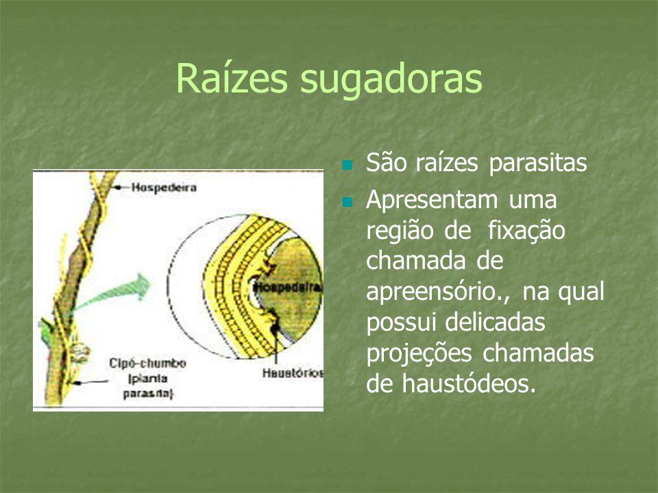 Raízes sugadoras São raízes parasitas