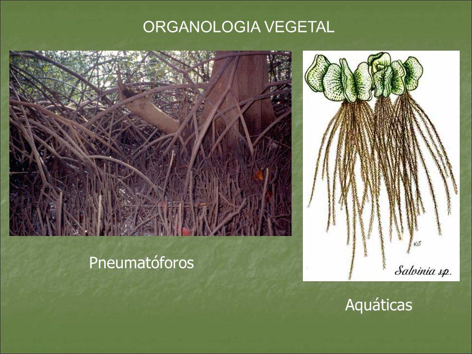 ORGANOLOGIA VEGETAL Pneumatóforos Aquáticas