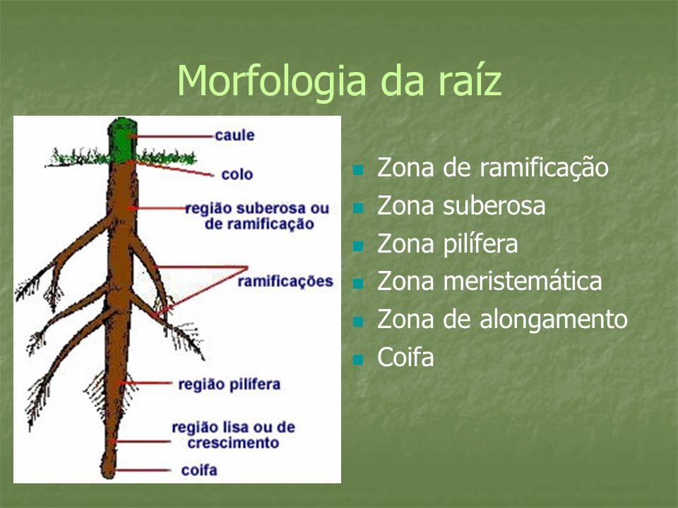 Morfologia da raíz Zona de ramificação Zona suberosa Zona pilífera