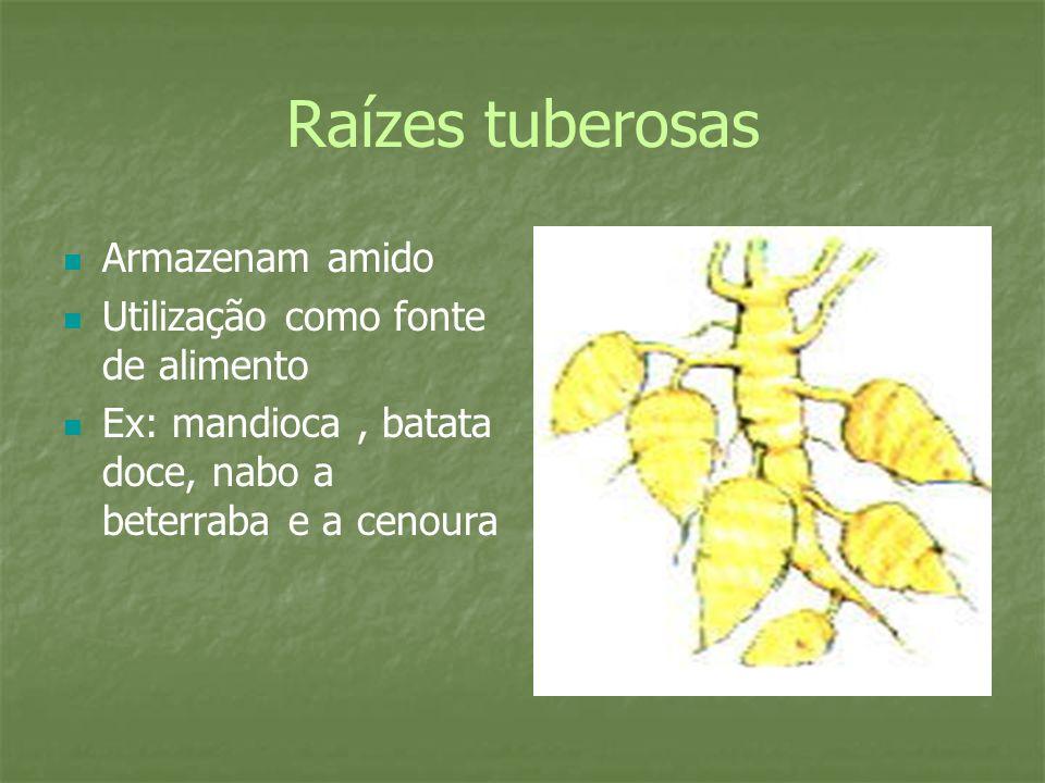 Raízes tuberosas Armazenam amido Utilização como fonte de alimento